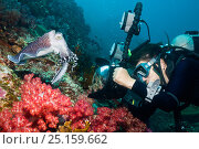 Купить «Broadclub cuttlefish (Sepia latimanus) with a female scuba diver taking its picture.  Indonesia.», фото № 25159662, снято 23 января 2018 г. (c) Nature Picture Library / Фотобанк Лори