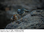 Купить «Lava Heron (Butorides sundevalli) adult and juvenile, Galapagos. Endemic.», фото № 25159670, снято 22 мая 2019 г. (c) Nature Picture Library / Фотобанк Лори