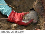 Купить «Radio-collared Edible / Fat Dormouse (Glis glis) being taken from its winter hibernation burrow during a survey in woodland where this European species...», фото № 25159894, снято 24 октября 2018 г. (c) Nature Picture Library / Фотобанк Лори