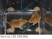 Купить «Two Harvest mice (Micromys minutus) from a captive colony selected for release at a field site, Moulton College, Northampton, UK, June.», фото № 25159902, снято 24 октября 2018 г. (c) Nature Picture Library / Фотобанк Лори