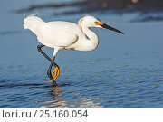 Купить «Snowy egret (Egretta thula) Myakka River State Park, Florida, USA. March.», фото № 25160054, снято 14 июля 2020 г. (c) Nature Picture Library / Фотобанк Лори