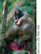 Купить «Drill (Mandrillus leucophaeus) adult male yawning, Pandillus Sanctuary, Nigeria.», фото № 25160150, снято 22 июля 2019 г. (c) Nature Picture Library / Фотобанк Лори