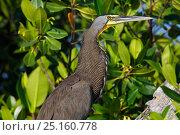 Купить «Bare-throated tiger-heron (Tigrisoma mexicanum), Ria Lagartos Biosphere Reserve, Yucatan Peninsula, Mexico, August», фото № 25160778, снято 16 июня 2019 г. (c) Nature Picture Library / Фотобанк Лори