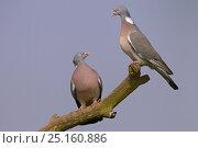 Купить «Wood pigeons (Columba palumbus) two perched together, Norfolk, England, UK, February.», фото № 25160886, снято 26 сентября 2018 г. (c) Nature Picture Library / Фотобанк Лори
