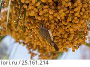 Купить «Noisy miner (Manorina melanocephala) feeding on palm tree seed pods. Northern Territory, Australia.», фото № 25161214, снято 18 ноября 2017 г. (c) Nature Picture Library / Фотобанк Лори