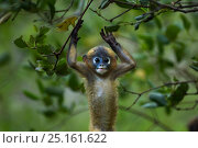 Dusky leaf monkey (Trachypithecus obscurus) baby playing . Khao Sam Roi Yot National Park, Thailand. Стоковое фото, фотограф Anup Shah / Nature Picture Library / Фотобанк Лори