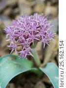 Купить «Onion (Allium materculae) flowering, Khosrow Reserve, Armenia, May.», фото № 25162154, снято 15 августа 2018 г. (c) Nature Picture Library / Фотобанк Лори