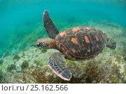 Купить «Green turtle (Chelonia mydas) swimming, Puerto Egas, Santiago Island, Galapagos, Ecuador, June.», фото № 25162566, снято 22 марта 2019 г. (c) Nature Picture Library / Фотобанк Лори