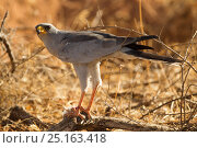 Купить «Pale chanting goshawk (Melierax canorus) with rodent, Samburu Game Reserve, Kenya, East Africa, October.», фото № 25163418, снято 21 марта 2019 г. (c) Nature Picture Library / Фотобанк Лори