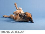 Playful puppy lying on the floor against blue background. Стоковое фото, фотограф Мария Сидельникова / Фотобанк Лори