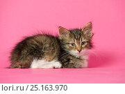 Новорожденный котенок лежит на розовом фоне. Стоковое фото, фотограф Мария Сидельникова / Фотобанк Лори