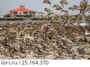 Купить «Flock of semipalmated sandpiper (Calidris pusilla), ruddy turnstone (arenaria interpres) and red knot (Calidris canutus), Slaughter Beach, Delaware Bay, USA, May.», фото № 25164370, снято 17 декабря 2017 г. (c) Nature Picture Library / Фотобанк Лори