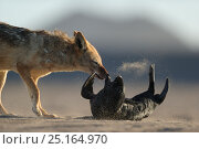 Black backed jackal (Canis mesomelas) attacking Cape fur seal (Arctocephalus pusillus) pup, Sperrgebiet National Park, Namibia, December. Sequence 3/6. Стоковое фото, фотограф Solvin Zankl / Nature Picture Library / Фотобанк Лори