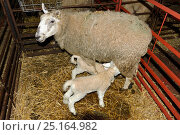 Купить «Welsh Mule ewe, crossbred sheep for prime meat production from a Bluefaced Leicester ram, with two new born lambs suckling in a pen, Herefordshire, England. April», фото № 25164982, снято 15 августа 2018 г. (c) Nature Picture Library / Фотобанк Лори