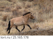 Купить «Wild Przewalski / Takhi Horse horse (Equus ferus przewalskii) breeding stallion trotting. Hustai National Park, Tuv Province, Mongolia. Endangered species. September.», фото № 25165178, снято 27 мая 2018 г. (c) Nature Picture Library / Фотобанк Лори