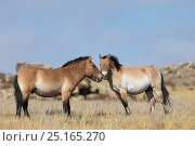 Купить «Two wild Przewalski / Takhi Horse (Equus ferus przewalskii) breeding stallions greeting one another, Hustai National Park, Tuv Province, Mongolia. Endangered species. September.», фото № 25165270, снято 27 мая 2018 г. (c) Nature Picture Library / Фотобанк Лори