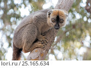 Купить «Red-fronted lemur (Eulemur rufifrons) male, Kirindy Forest, Madagascar.», фото № 25165634, снято 21 сентября 2018 г. (c) Nature Picture Library / Фотобанк Лори