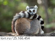 Купить «Ring-tailed lemur (Lemur catta) resting with tail wrapped around body, Anjaha Community Conservation Site, near Ambalavao, Madagascar.», фото № 25166454, снято 18 июля 2018 г. (c) Nature Picture Library / Фотобанк Лори