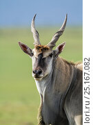 Cape eland (Taurotragus oryx) male, Masai Mara Game Reserve, Kenya, November. Стоковое фото, фотограф Denis-Huot / Nature Picture Library / Фотобанк Лори