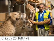 Купить «Man with taxidermy specimens and ivory tusk confiscated by the Spanish police at Adolfo Suarez Madrid-Barajas Airport in accordance with CITES, stored in a government warehouse, Spain, October 2014.», фото № 25168478, снято 22 мая 2018 г. (c) Nature Picture Library / Фотобанк Лори