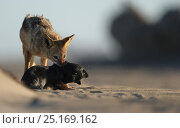Black backed jackal (Canis mesomelas) attacking Cape fur seal (Arctocephalus pusillus) pup, Sperrgebiet National Park, Namibia, December. Sequence 5/6. Стоковое фото, фотограф Solvin Zankl / Nature Picture Library / Фотобанк Лори