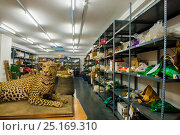 Купить «Taxidermy specimens and endangered wildlife products confiscated by the Spanish police at Adolfo Suarez Madrid-Barajas Airport in accordance with CITES...», фото № 25169310, снято 22 мая 2018 г. (c) Nature Picture Library / Фотобанк Лори
