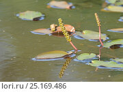 Купить «Broad-leaved pondweed (Potamogeton natans) flowering in a marshland pond, Devon, UK, June», фото № 25169486, снято 1 февраля 2019 г. (c) Nature Picture Library / Фотобанк Лори