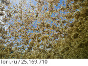 Sargassum weed (possibly Sargassum natans) floating on the ocean surface, Gulf of Mexico, Mexico, Caribbean Sea. Стоковое фото, фотограф Brandon Cole / Nature Picture Library / Фотобанк Лори
