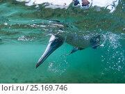 Blue-footed booby (Sula nebouxii) fishing, Borrero Bay, Santa Cruz Island, Galapagos, Ecuador. Стоковое фото, фотограф Tui De Roy / Nature Picture Library / Фотобанк Лори