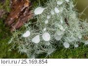 Купить «Lichen (Usnea florida) Snowdonia, North Wales, October.», фото № 25169854, снято 24 февраля 2019 г. (c) Nature Picture Library / Фотобанк Лори