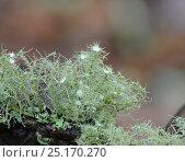 Купить «Lichen (Usnea florida) Snowdonia, North Wales, October.», фото № 25170270, снято 24 февраля 2019 г. (c) Nature Picture Library / Фотобанк Лори