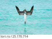 Купить «Blue-footed booby (Sula nebouxii) plunge-diving at high speed, San Cristobal Island, Galapagos, Ecuador.», фото № 25170714, снято 10 июля 2020 г. (c) Nature Picture Library / Фотобанк Лори