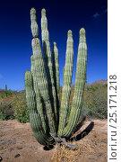 Купить «Cardon cactus (Pachycereus pringlei) in desert, Baja California, Mexico.», фото № 25171218, снято 26 мая 2019 г. (c) Nature Picture Library / Фотобанк Лори