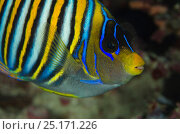 Regal angelfish (Pygoplites diacanthus) Rainbow Reef, Fiji, South Pacific. Стоковое фото, фотограф Pete Oxford / Nature Picture Library / Фотобанк Лори