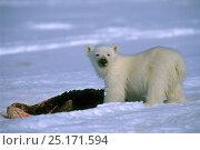 Купить «Polar bear (Ursus maritimus) cub eating seal, Lancaster Sound, Nunavut, northern Baffin Island, Canada, Arctic.», фото № 25171594, снято 26 апреля 2019 г. (c) Nature Picture Library / Фотобанк Лори