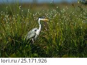 Купить «White-necked heron (Ardea cocoi)  Ibera Marshes, Corrientes Province, Argentina», фото № 25171926, снято 11 июля 2020 г. (c) Nature Picture Library / Фотобанк Лори