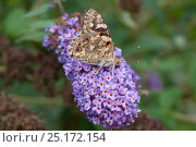 Painted lady butterfly (Vanessa cardui) on Buddleja, Maarianhamina, Ahvenanmaa / Aland Islands Archipelago, Finland. September. Стоковое фото, фотограф Jussi Murtosaari / Nature Picture Library / Фотобанк Лори