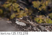 Купить «Viviparous lizard (Zootoca vivipara) sunbathing, Puumala, Etela-Savo / Southern Savonia, Ita-Suomi / Eastern Finland, Finland. April», фото № 25172218, снято 18 марта 2019 г. (c) Nature Picture Library / Фотобанк Лори