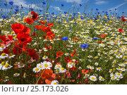 Купить «Cornfield annual summer wildflowers growing on one of the plant charity Landlife's National Wildflower Farms, St Helens, Merseyside, UK, June.», фото № 25173026, снято 21 июня 2018 г. (c) Nature Picture Library / Фотобанк Лори