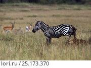 Купить «Common or Plains zebra (Equus quagga burchellii) male lame from an injury hunted by Spotted Hyena (Crocuta crocuta). Maasai Mara National Reserve, Kenya.», фото № 25173370, снято 11 июля 2020 г. (c) Nature Picture Library / Фотобанк Лори