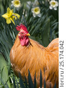 Купить «Buff Bantam Cochin in Daffodils, Cheshire, Connecticut, USA», фото № 25174042, снято 22 апреля 2019 г. (c) Nature Picture Library / Фотобанк Лори
