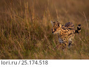 Купить «Serval (Leptailurus serval) male walking through grass. Maasai Mara National Reserve, Kenya.», фото № 25174518, снято 10 мая 2020 г. (c) Nature Picture Library / Фотобанк Лори