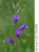 Купить «Bellflower (Campanula) Mercantour National Park, Provence, France, June.», фото № 25174670, снято 16 июля 2018 г. (c) Nature Picture Library / Фотобанк Лори
