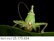 Купить «Spine-headed katydid (Acantheremus sp) missing one antennae, Yasuni National Park, Amazon Rainforest, Ecuador.  South America», фото № 25175654, снято 22 июля 2018 г. (c) Nature Picture Library / Фотобанк Лори