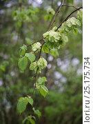 Купить «Developing Elm (Ulmus sp) seeds. Gloucestershire, England, April.», фото № 25175734, снято 15 августа 2018 г. (c) Nature Picture Library / Фотобанк Лори