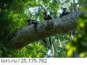 Купить «Guereza colobus monkeys (Colobus guereza) in tree, Lango Bai, Republic of Congo (Congo-Brazzaville), Africa.», фото № 25175782, снято 23 января 2019 г. (c) Nature Picture Library / Фотобанк Лори