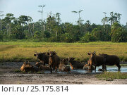 Forest buffaloes (Syncerus caffer nanus) wallowing. Lango Bai, Republic of Congo (Congo-Brazzaville), Africa. Стоковое фото, фотограф Pete Oxford / Nature Picture Library / Фотобанк Лори