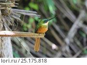 Купить «Rufous-tailed jacamar (Galbula ruficauda) perched. Tobago, West Indies.», фото № 25175818, снято 20 июля 2019 г. (c) Nature Picture Library / Фотобанк Лори