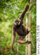 Купить «Agile Gibbon (Hylobates agilis) in Tanjung Puting National Park, Borneo-Kalimatan, Indonesia.», фото № 25175978, снято 5 августа 2020 г. (c) Nature Picture Library / Фотобанк Лори