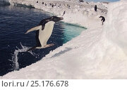 Купить «Adelie penguin (Pygoscelis adeliae) leaping from water, Antarctica. Small reproduction only.», фото № 25176678, снято 15 августа 2018 г. (c) Nature Picture Library / Фотобанк Лори
